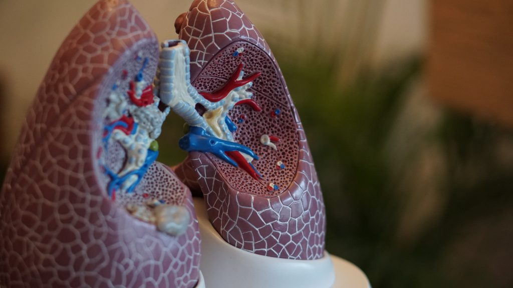 Image of a medical model of a pair of lungs